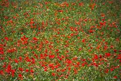 pintura (nuri_bri) Tags: amapolas roselles popies campo
