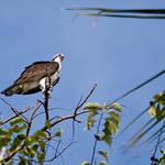 Pandion haliaetus- Osprey thumbnail