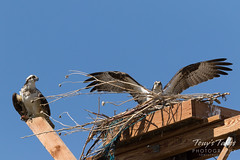 Resident male Osprey guards its nest