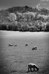 Chilterns Pastoral (Fuji and I) Tags: chilterns england travel hiking nature countryside sprint blackandwhite saunderton alexarrnaoudov fujix
