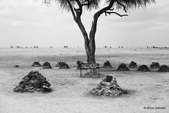 Remember (fatmanwalking) Tags: rhino animals wildlife africa kenya olpejeta conservancy cemetery graveyard blackwhite blackandwhite mood poaching
