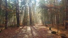 Golden Autumm (Kasimir) Tags: kaiserslautern pfalz nature autumm herbst otoño tree forest woods bosque light ray leaves golden