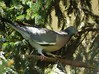 Pigeon (Jurek.P) Tags: ptaki ptak gołąb gołąbgrzywacz commonwoodpigeon birds bird jurekp sonya77