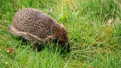 Igel  / Hedgehog (p.schmal) Tags: panasonicgx80 hamburg farmsenberne igel hedgehog