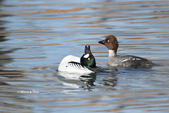 Trying to impress (Canon Queen Rocks (2,090,000 + views)) Tags: ducks birds beak wildlife water wings wild reflections commongoldeneye male female feathers waterfowl nature ponds colours markings blues momentsbycelinecom