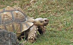 Giant Tortoise (Cornishcarolin. Stupid busy!! xx) Tags: devon httpswwwpaigntonzooorguk animals tortoise gianttortoise nature grass