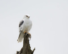 Lost in a Field of White (opheliosnaps) Tags: bird animal nature wild outdoors white tailed kite elanus leucurus red eye post perch prey vole rodent hunt wood tree whiteonwhite hawk
