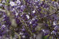 """In our garden, """"wisteria"""" (Fred / Canon 70D) Tags: wisteria blauweregen garden plant canon canon70d canoneos closeup ef100mmf28lmacroisusm eefde spring spring2018"""