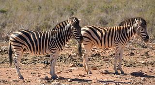 Zebadiah and Zafira Zebra