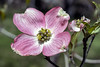 May Macros (pink dogwood) (Artrocity) Tags: artrocity outdoors macro minolta 50mm spring flowers