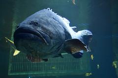 Wonders of Wildlfie National Museum and Aquarium (Adventurer Dustin Holmes) Tags: 2018 wondersofwildlife chordata animalia saltwater aquarium fish ugly frowning frown mouth big huge animal animals