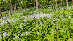 Bannams Wood 13th May 2018 (boddle (Steve Hart)) Tags: steve hart boddle steven bruce wyke road wyken coventry united kingdon england great britain canon 5d mk4 6d 100400mm is usm ii 2470mm standard wild wilds wildlife life nature natural bird birds flowers flower fungii fungus insect insects spiders butterfly moth butterflies moths creepy crawley winter spring summer autumn seasons sunset weather sun sky cloud clouds panoramic landscape mortonbagot unitedkingdom gb