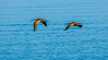 Two Whimbrels fly by (MurrayH77) Tags: bird nc obx salvo outer banks sound pamlico hatteras