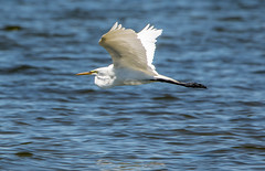 Day Use Egret (MurrayH77) Tags: bird nc obx salvo outer banks sound pamlico hatteras