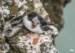 Pre Flight Inspection (davidrhall1234) Tags: puffinfratercula puffin bemptoncliffsrspb bempton cliff rspb birds bird birdsofbritain beak countryside coastal coast conservation outdoors feather nature nikon shore shoreline sea wildlife world