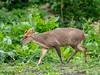 Muntjac deer with metabones (ArtFrames) Tags: canon metabones adapted lenses panasonic g9