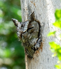 Eastern screech owl (Megascops asio) (dzittin) Tags: megascops asio eastern screech owl tree face