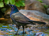 Grackle, Lincoln, NE (031546) Tags: grackle nebraska iridescent elegant
