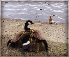 "It's Getting Crowded In Here! (FernShade) Tags: vancouver ""britishcolumbia"" canada ""stanleypark"" ""lostlagoon"" ""canadagoose"" ""brantacanadensis"" geese nature wildlife birds avian goslings mother protection sheltering behavior babies ""mothergoose"" ""mothergoosewithbabies"" waterfowl ""waterbirds"""