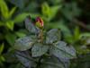 IMG_8427 (milkaklickovic) Tags: canon canon60d takumar 55mm f2 flowers garden roses