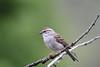 Chipping Sparrow,  Spizella passerina (jlcummins - Washington State) Tags: sparrow chippingsparrow bearcreekcanyon washingtonstate yakimacounty bird wildlife nature tamronsp150600mmf563divcusd canon
