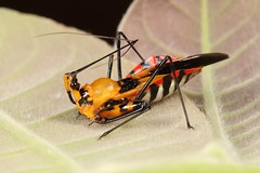 Freshly Moulted Adult Assassin Bug (Rihirbus trochantericus, Reduviidae) (John Horstman (itchydogimages, SINOBUG)) Tags: insect macro china yunnan itchydogimages sinobug entomology canon bug assassin hemiptera reduviidae topf25 top fb