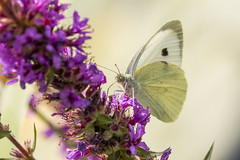 white butterfly (dr.larsbergmann) Tags: canon camera nature eos macrodreams macro