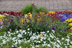 Ducky likes flowers :) (petrOlly) Tags: europe europa österreich austria ducky linz crochet amigurumi planetjune handmade sk2018 flower flowers nature natura przyroda
