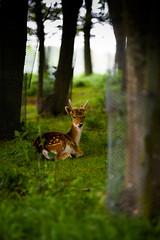 Phoenix park Deer (balb_kubrox) Tags: forest deer nikon d700 sigma 70200mm trees grass