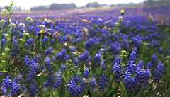 Field of purple flowers in Shepherdstown, West Virginia farmland (Jill Rowland) Tags: farmland courtry wv usa wildwonderfulwv purple flowers lumix roadside rollinghills landscape scenery adventure travel