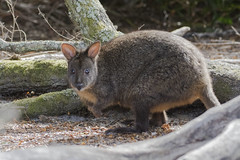 Rufous-bellied Pademelon (Baractus) Tags: rufousbellied pademelon john oates narawntapu national park tasmania australia inala nature tours