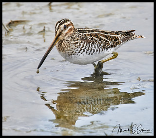 Wilson's Snipe at Grand Pass Conservation Area - No. 1