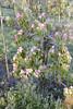 2017 Bloeiende Betuwe (Steenvoorde Leen - 6.6 ml views) Tags: 2017 betuwe bloeiendebetuwe boomgaard fruitboom bloeiendenbetuwe tiel maurik nachtvorst sproeien bescherming laagstam fruitboer gelderland holland nederland netherlands orchard apple tree pear verger jardin fruitier obstgarten pomar norta fruit abre obstbaum arbol frutl abero da frutta frugttera