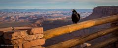 Canyonlands (MC_1618) (matxutca (cindy)) Tags: nationalpark canyonlandsnationalpark rocks canyon raven bird perch fence nature utah outdoors