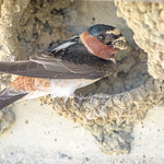Cliff Swallow working on nest thumbnail