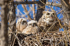 April 8, 2018 - Spring means babies at an Owl nest in Thornton. (Patrick Martin)