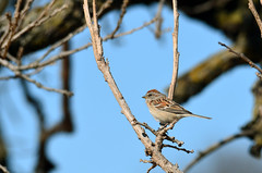American Tree Sparrow (U.S. Fish and Wildlife Service - Midwest Region) Tags: sparrow mn 2018 nature bloomington minneapolis bird birding minnesota spring seasons wildlife april animal
