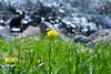 Löwenzahn (I-Like-My-Fotos-RAW) Tags: dandelion löwenzahn bokeh yellow gelb green grün gras nature natur blue blau plant pflanze water wasser grass see canon eos200d 200d f71 55mm 1250 iso 100 april 2018 20042018