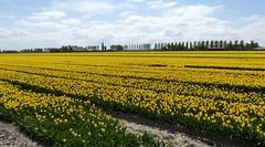 Foto Roel van Deursen Bollenpracht Goeree Overflakkee - Oude Tonge 2018-04-23 (3) (Roel van Deursen) Tags: tulpen vol bloei op goereeoverflakkee 2018
