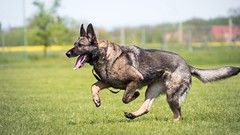 Chasedog (zola.kovacsh) Tags: outdoor animal pet dog ipo schutzhund germanshepherd meadow grass