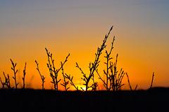 Sunset 14 Last silhouette (darletts56) Tags: sky blue grey yellow orange gold golden silhouette sun sunset evening bush