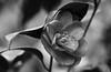 Well Sheltered (AnyMotion) Tags: kamelie camellia camelliajaponica camelia blossom blüte leaves blätter 2018 anymotion plants pflanzen nature blumen floral flowers garden garten frankfurt 7d2 canoneos7dmarkii spring frühling primavera printemps bw blackandwhite sw