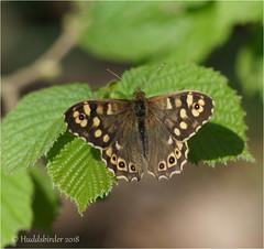 Speckled Wood (Huddsbirder) Tags: huddsbirder a6500 sony 70300 speckled wood old moor butterfly