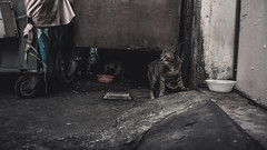 Coming Out For Food (Shane Hebzynski) Tags: bangkok thailand cats animal street grey gray
