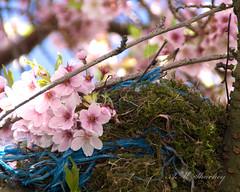 Mistle Thrush in nest (AnneMarie Sharkey) Tags: mistle thrush nest blossom paisley scotland sonya37 dslr