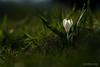 Crocus (Switzerland) (christian.rey) Tags: bulle fribourg suisse ch crocus fleur printemps sony alpha a7r2 a7rii 24105 flower blumen