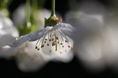 Cherry Blossom (haberlea) Tags: garden mygarden blossome flowers white tree cherry cherryblossom petals