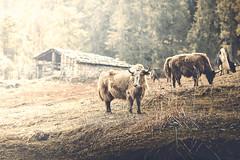 Bhutan: Yaks Grazing. (icarium.imagery) Tags: bhutan travel canoneos5dmarkiv captureone farmhouse forest haavalley himalayas rural canonef85mmf12lii yak animal animalhusbandry