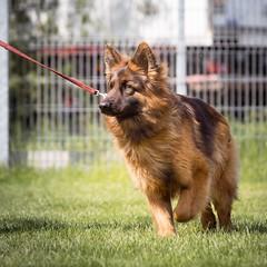 Follower (zola.kovacsh) Tags: outdoor animal pet dog ipo schutzhund german shepherd old meadow sun grass