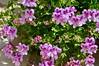 """Pelargonium"" dai petali screziati (costagar51) Tags: isoladellefemmine palermo sicilia sicily italia italy natura fiori piante"